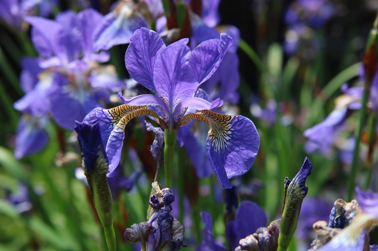 violet colored blue flag iris