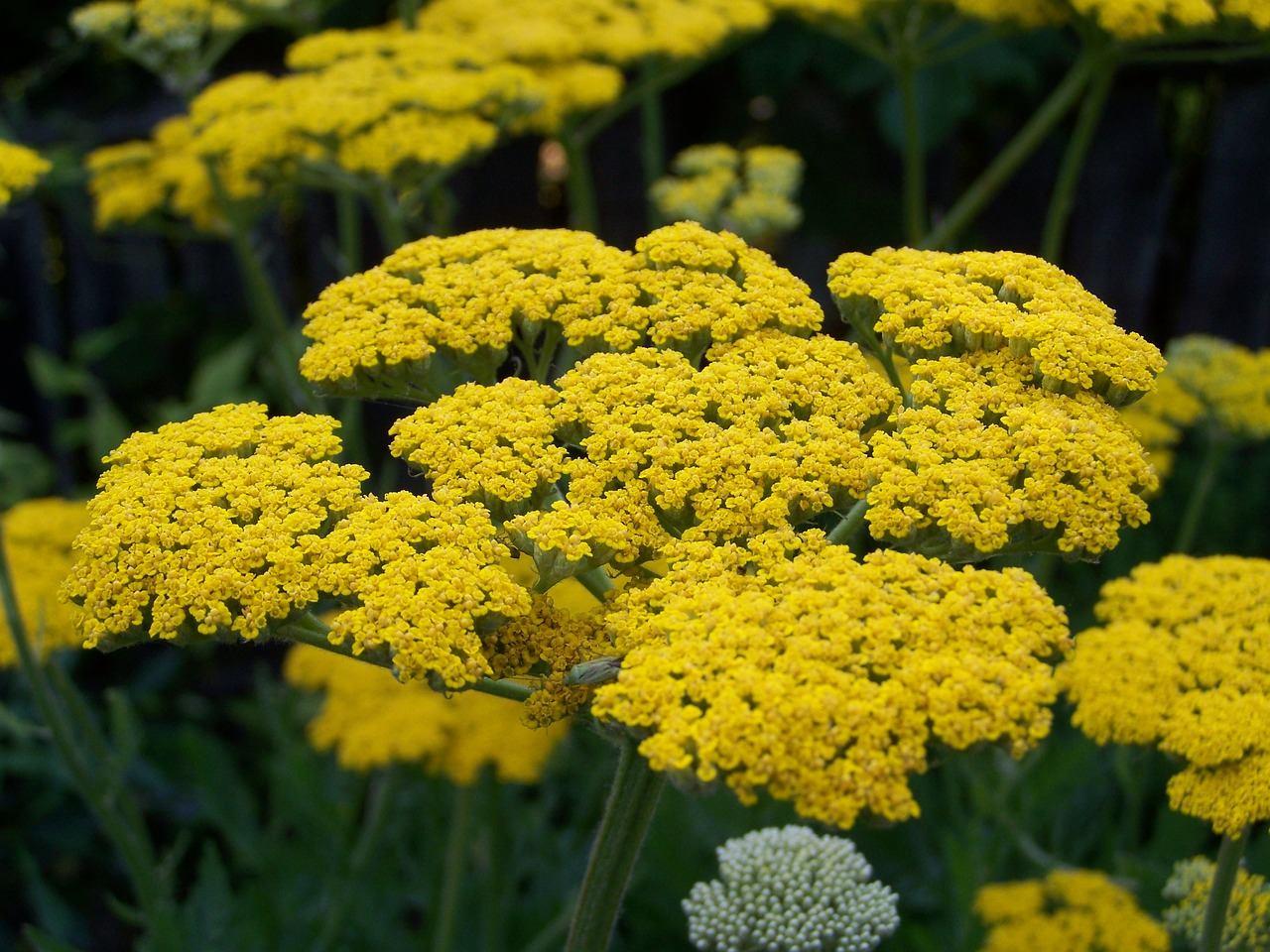 yellow yarrows