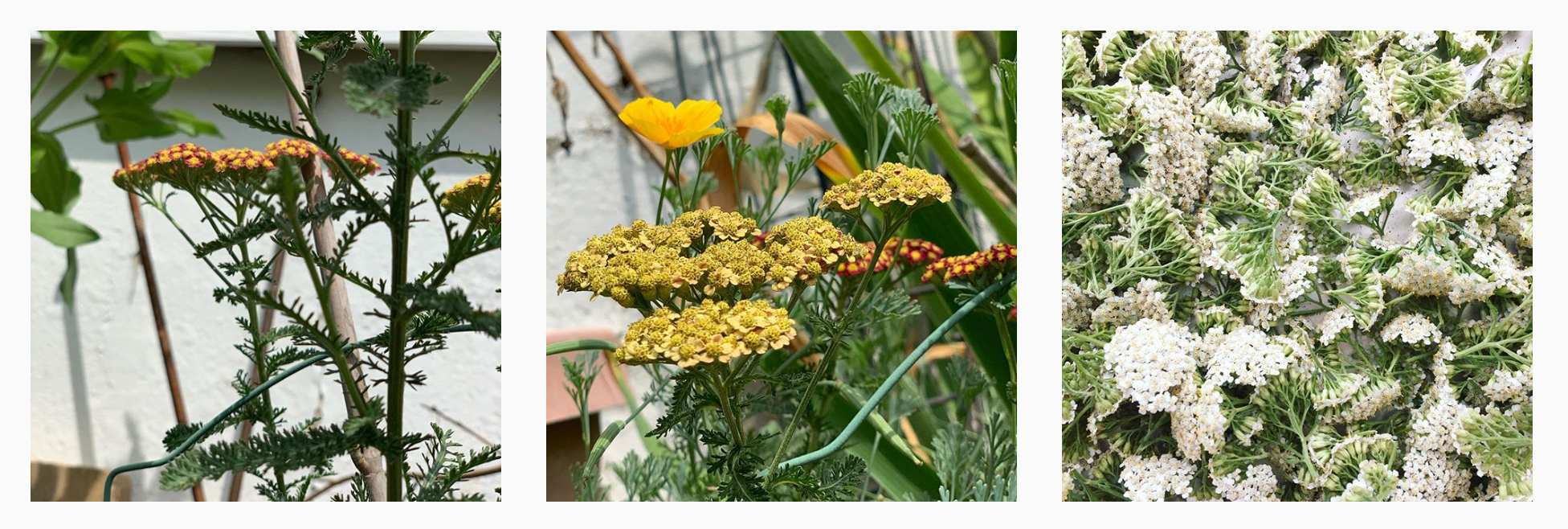 A row of different yarrow flowers