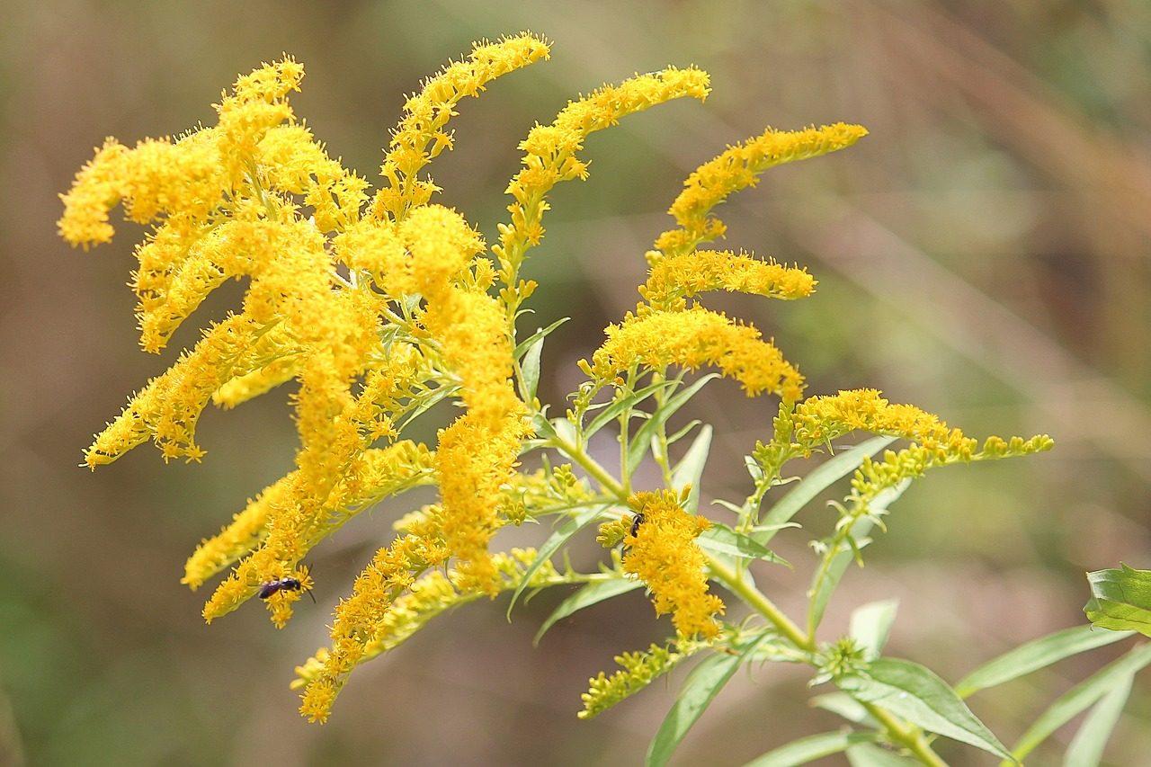 yellow Goldenrod