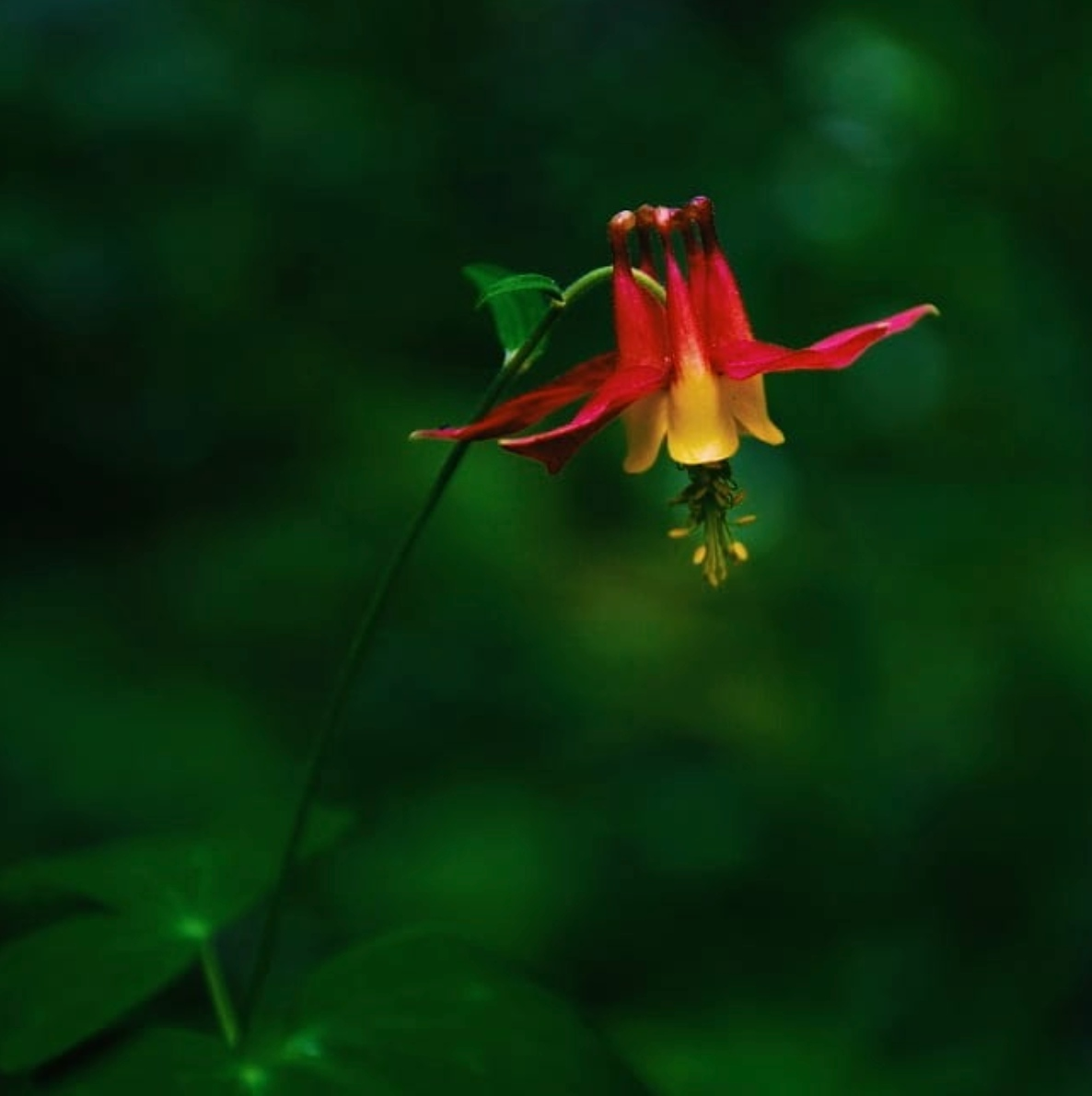 A lone Canadian columbine against a blurry emerald green tree