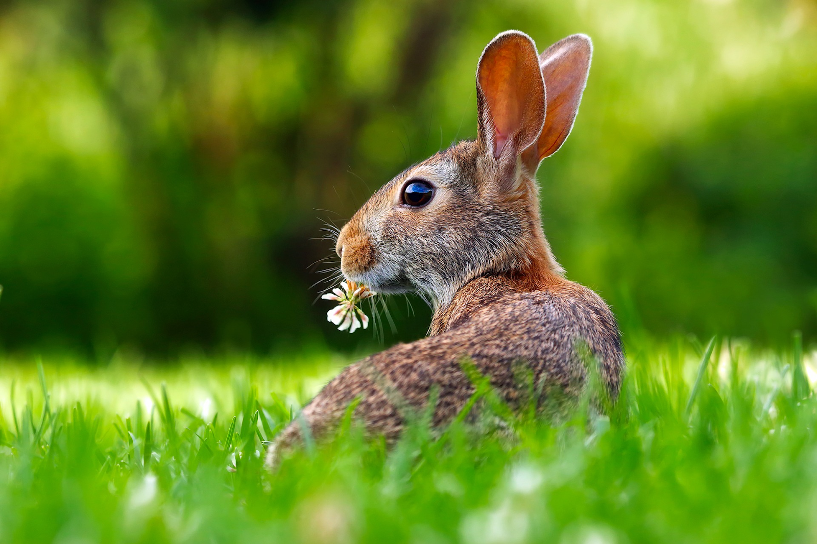 close-up of a brown bunny in a field of grass