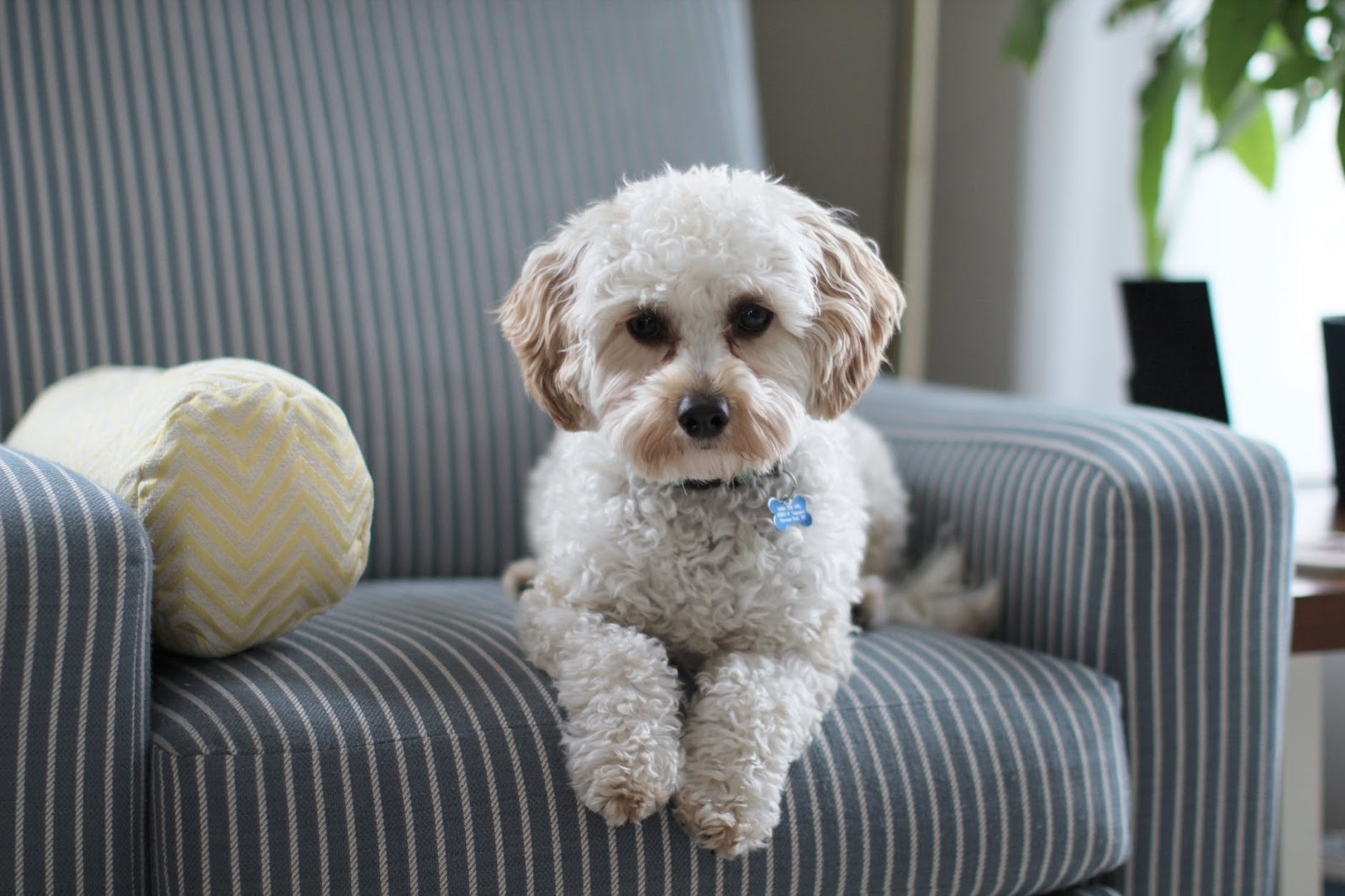 small white poodle puppy sitting on a striped couch