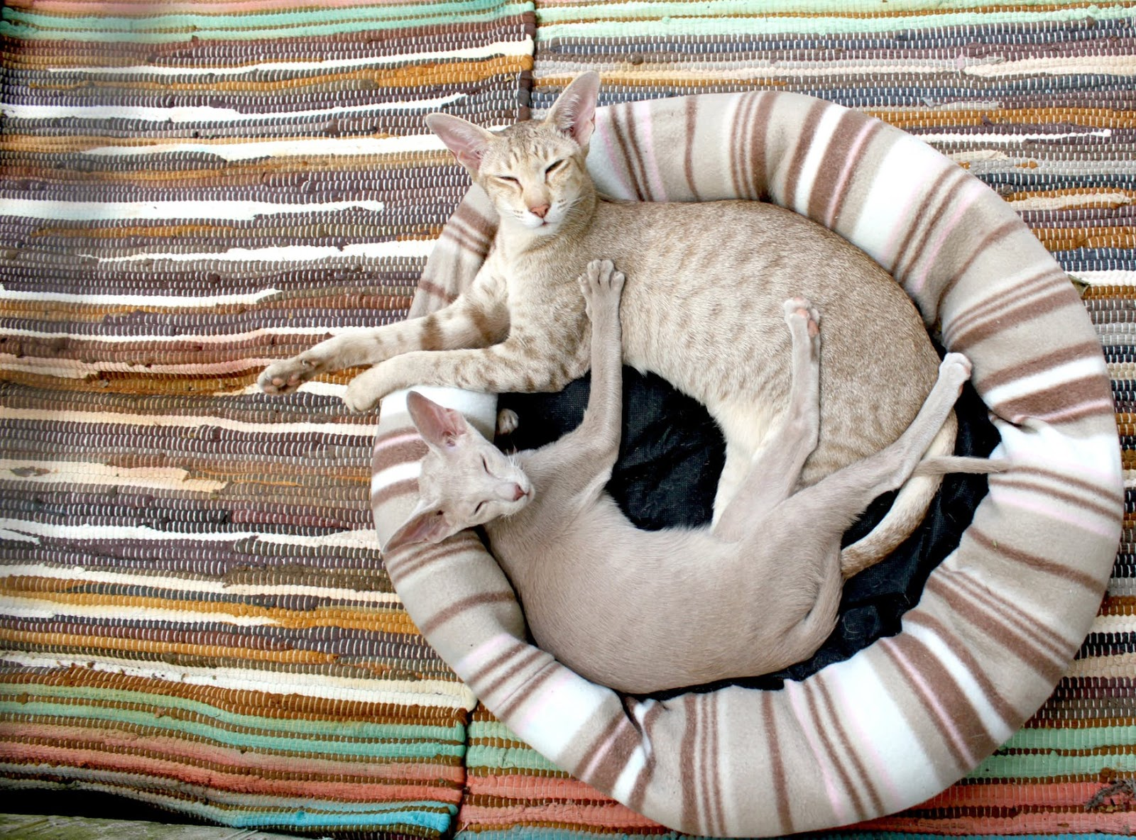 two Devon Rex cats laying in round bed