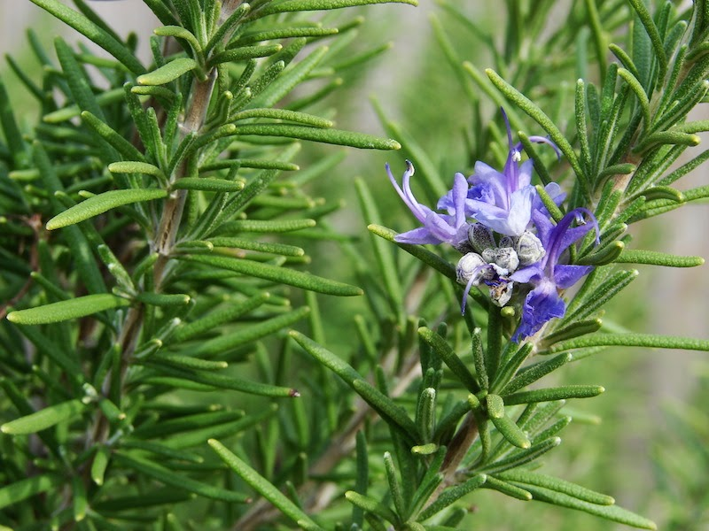 close-up of a purple rosemary
