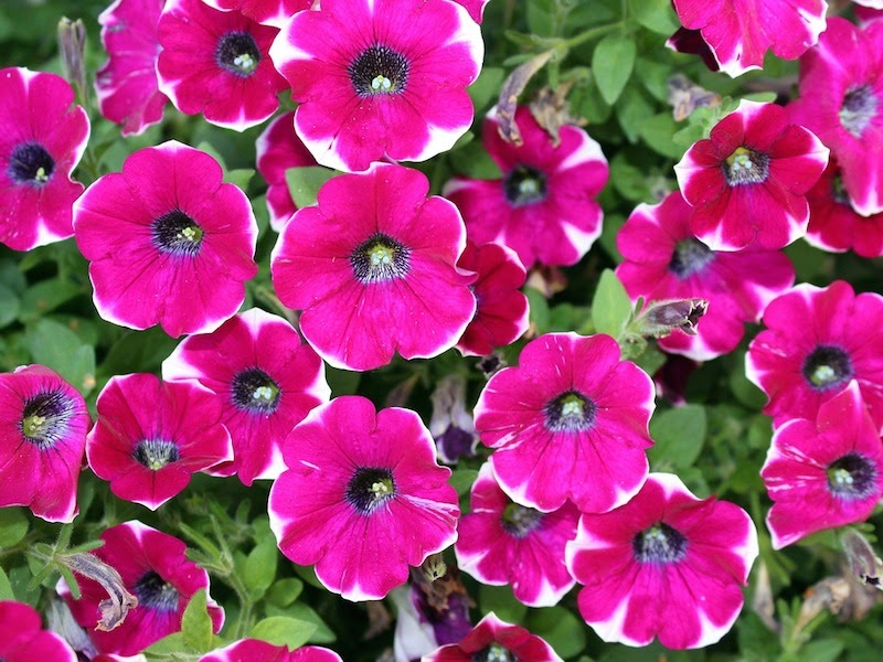 overhead view of pink Petunias