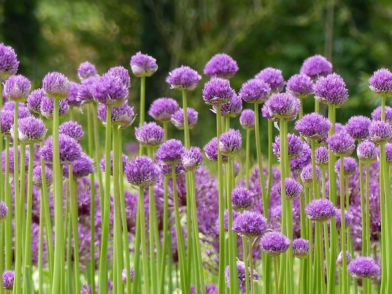 field of purple alliums