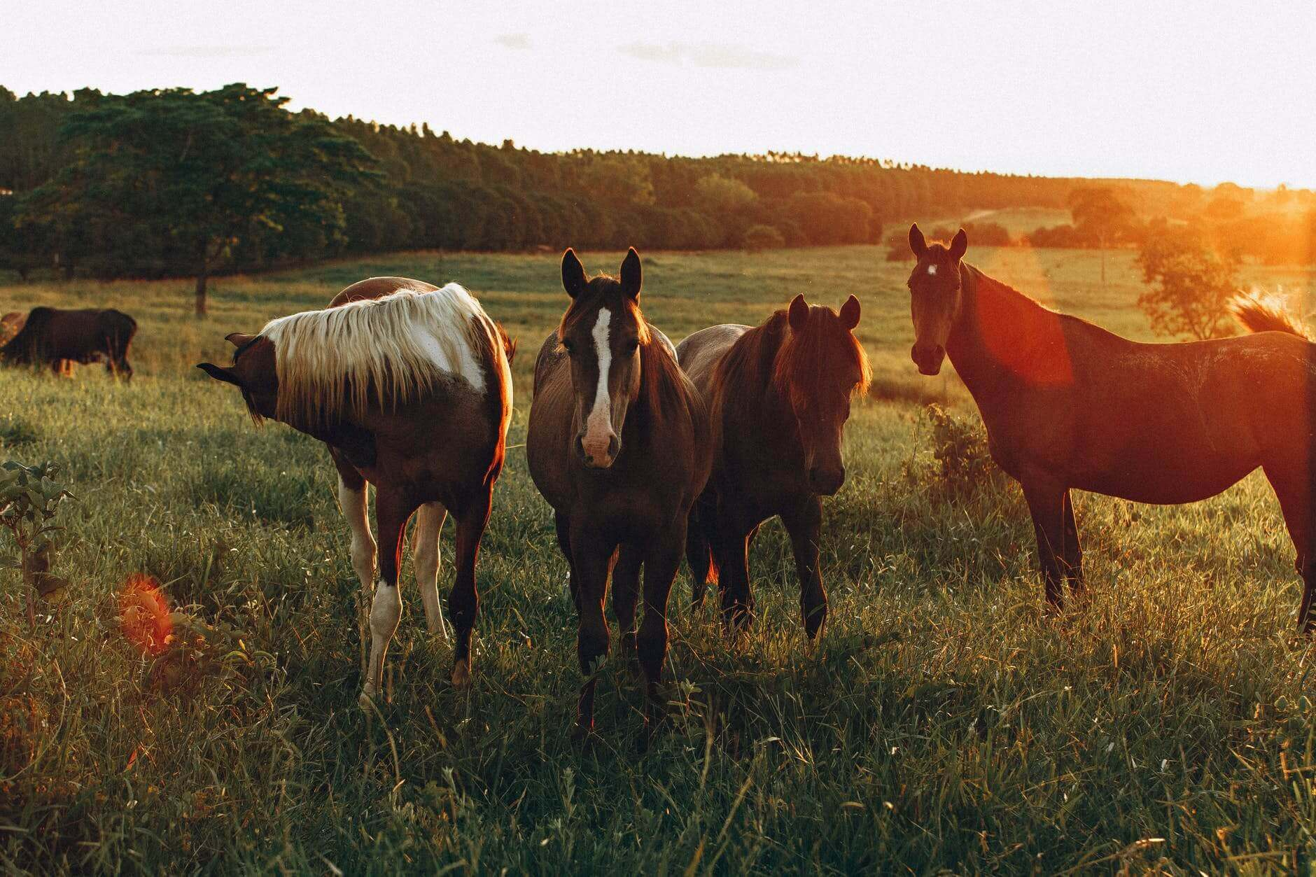 In he forefront of the photo there are four horses, all brown with a bit of white on their faces.in the background, more horses are grazing and there is a forest t the edge.