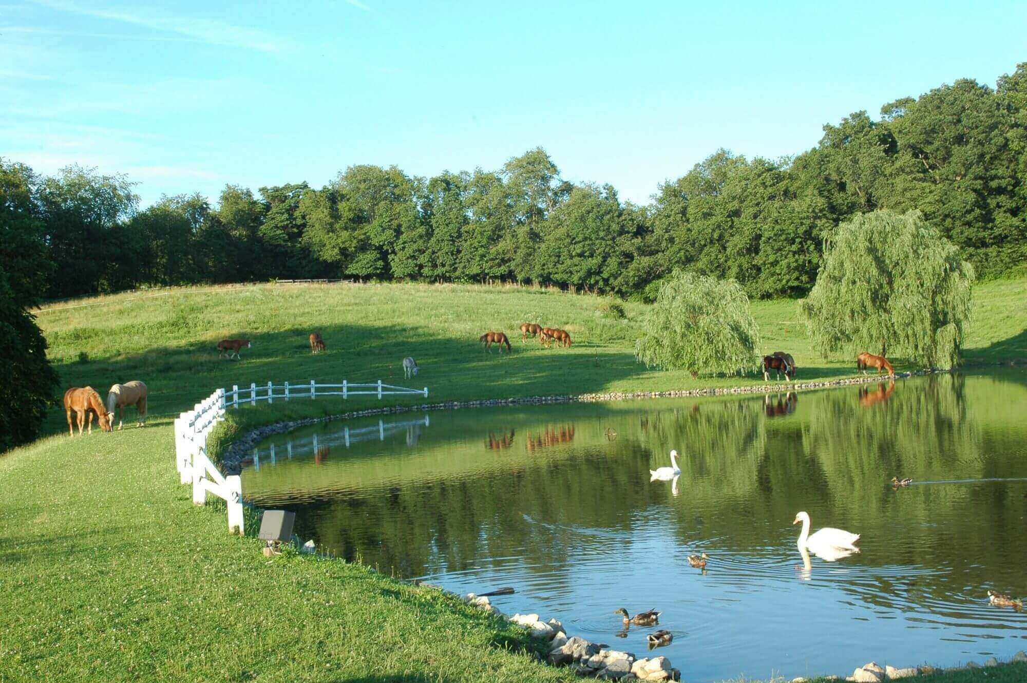 Trees line the edge of the photo. The area is grassy with a small white fence separating the land from a pond. Horses are grazing and water fowl are floating.