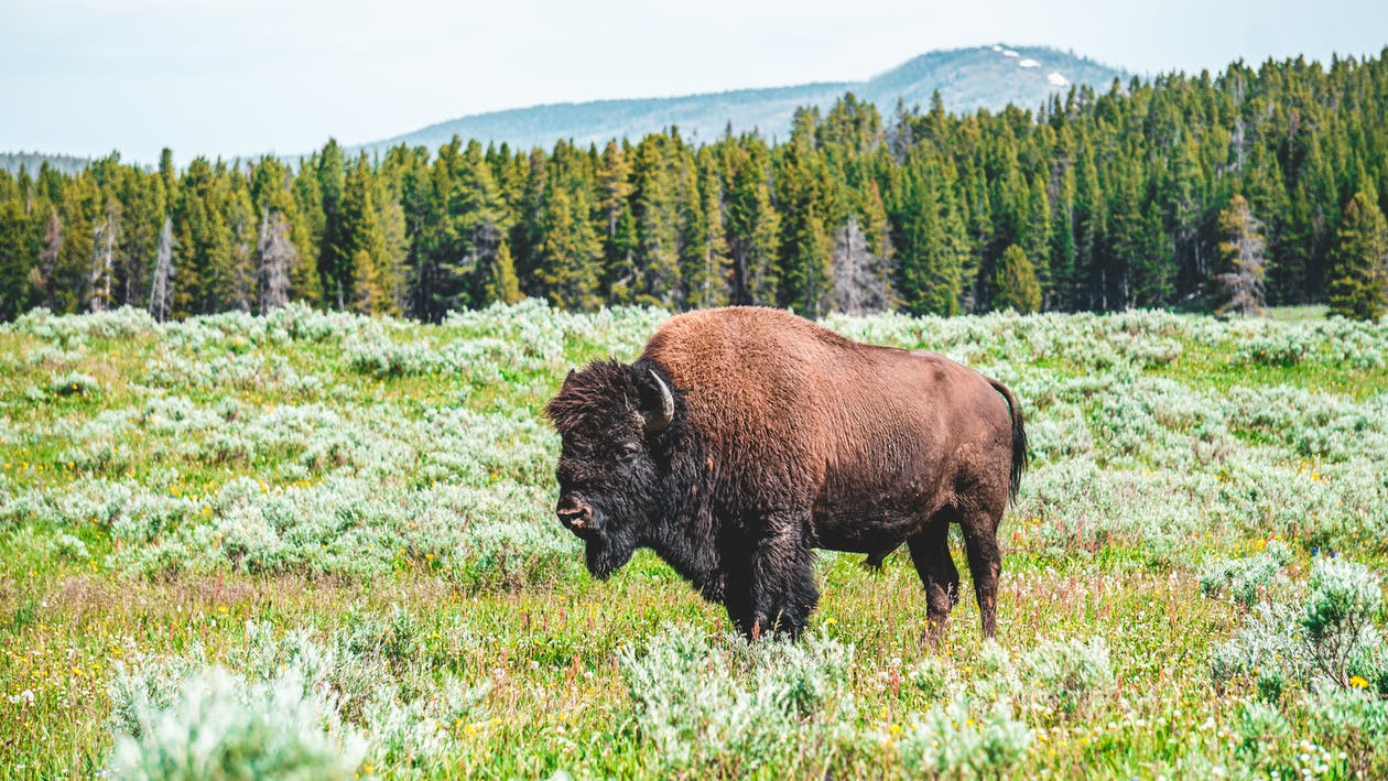 A bison stands in a filed of grasses. Behind him is a forest.r