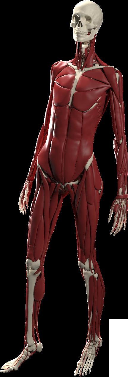Ziva Anatomy