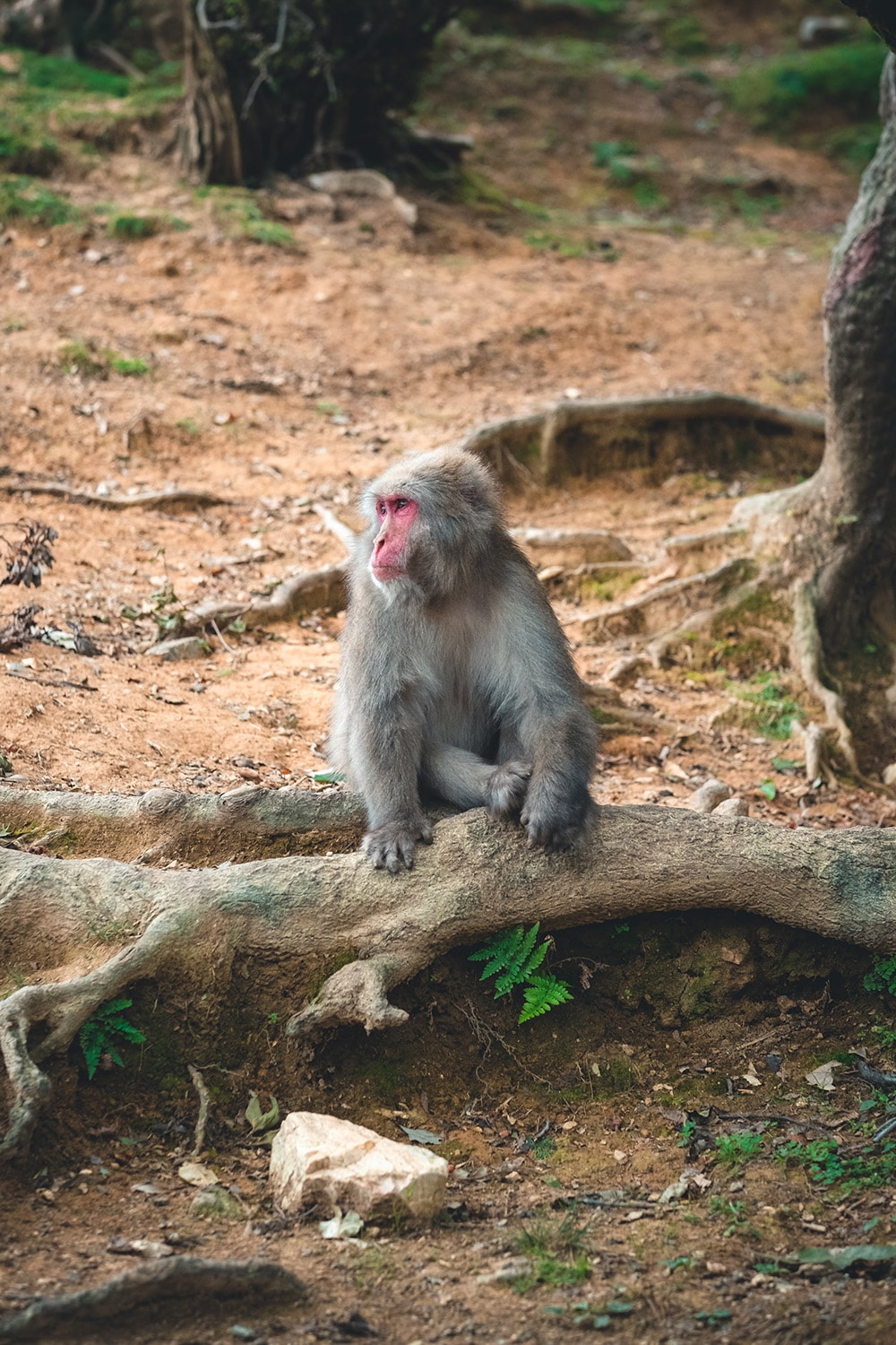 monkey in Kyoto