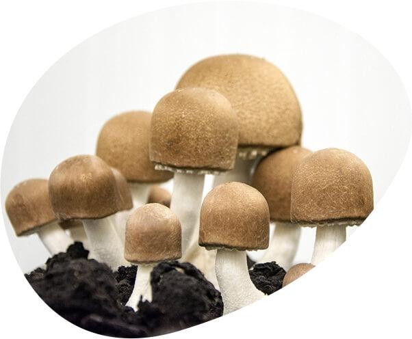 ciuperca agaricus blazei murill