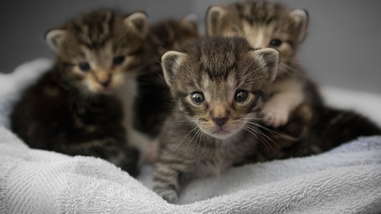 tabby kittens in basket