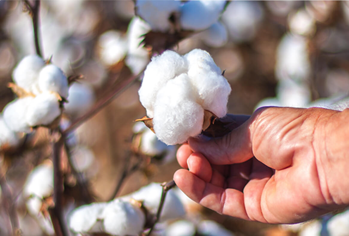 Photo of a hand holding a piece of Pima cotton