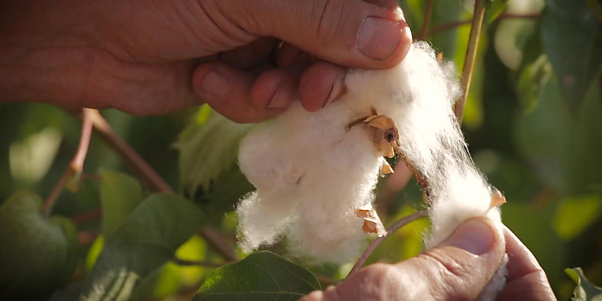 Hands pulling apart cotton plant