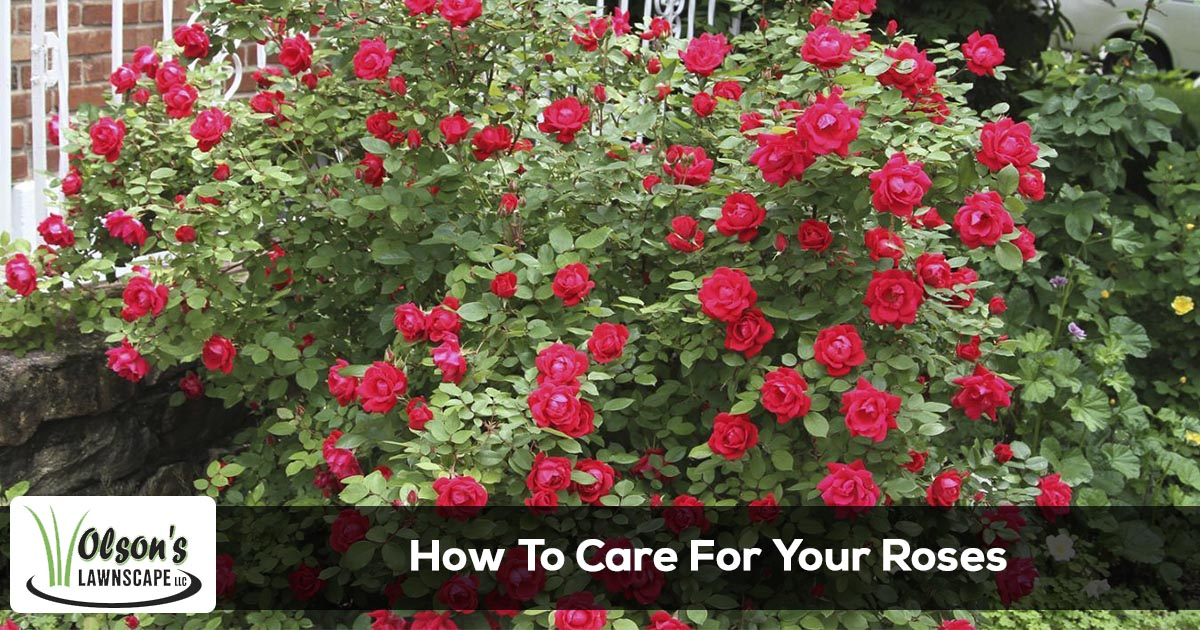 How to care for your roses