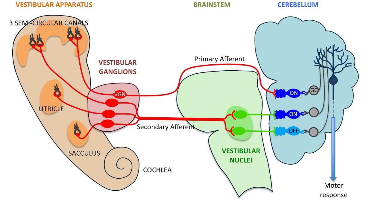 Vestibular Apparatus Processing by CNS