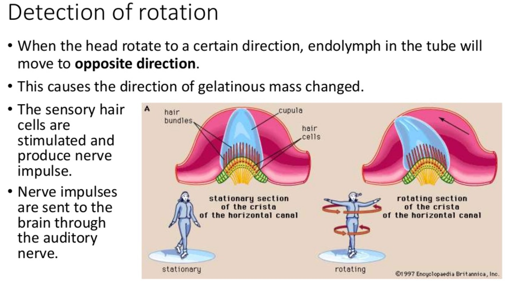 Inner Ear Rotation