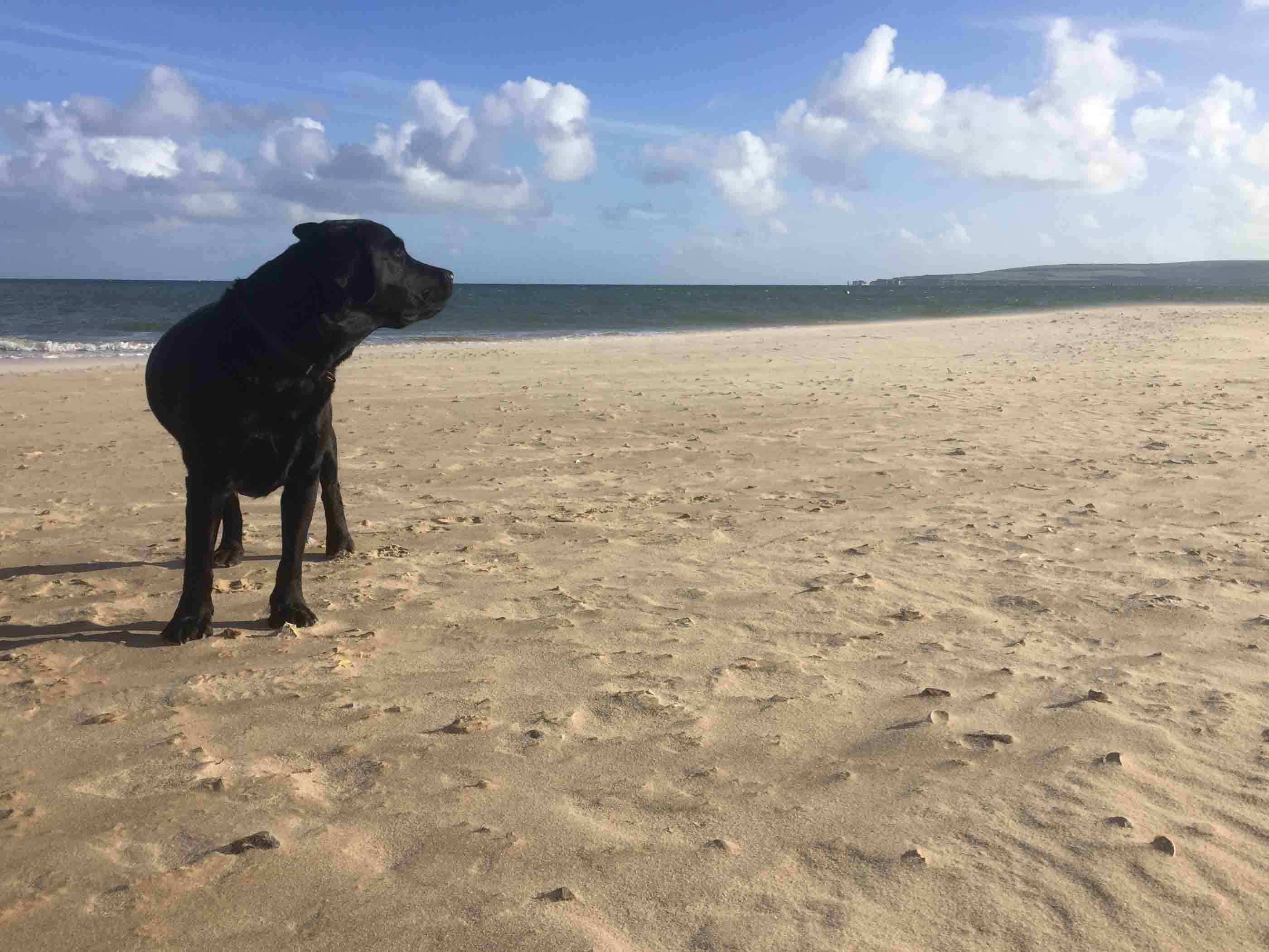 Photo showing my black labrador Max on Sandbanks Beach