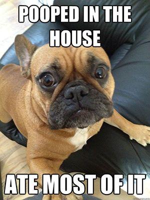 French Bulldog Meme #4