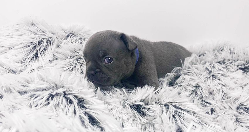Blue French Bulldog Puppies for Sale: Odyssey