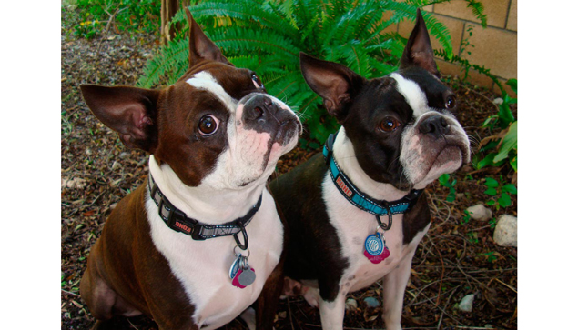 Two Boston Terrier dogs waiting to eat homemade dog food.