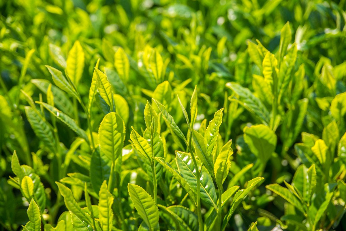Close-up on tea leaves before the first harvest of 2018 in a tea field in Chiran, Kagoshima, Japan