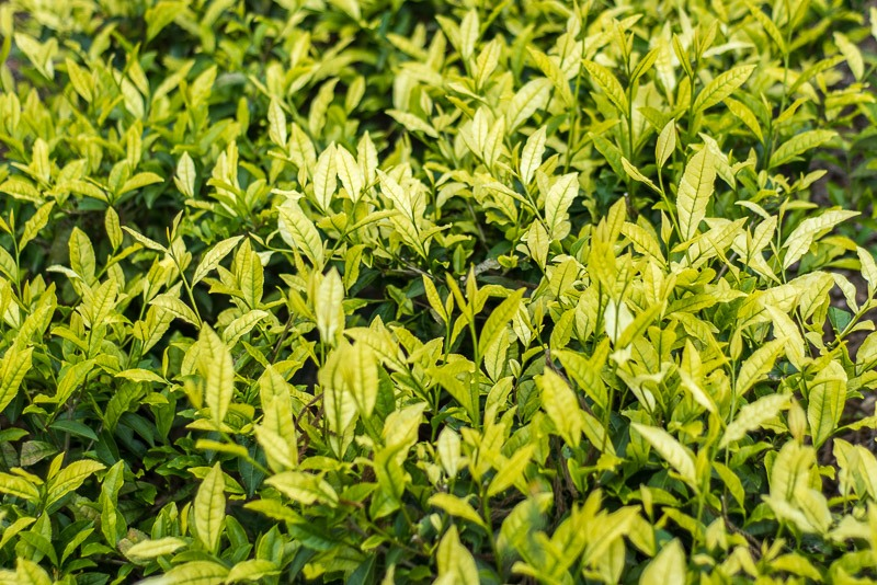 White tea leaves in a tea field in Yame, Fukuoka