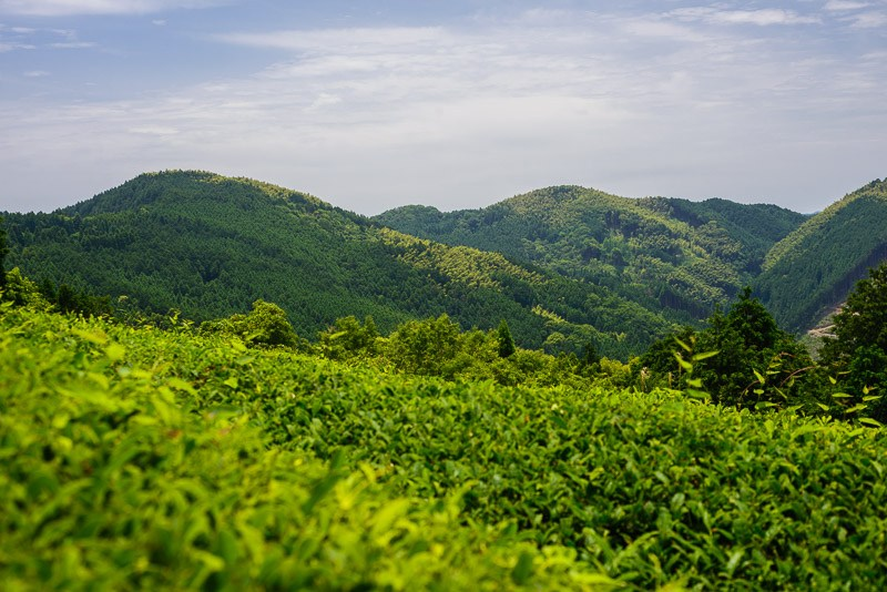 Organic Green Tea field in Yame, Japan