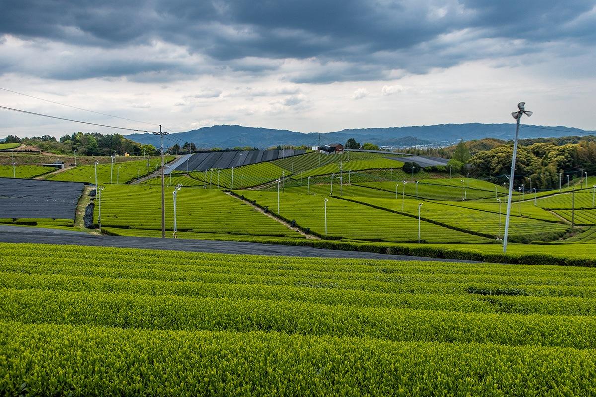 Champ de thé vert récolte 2019