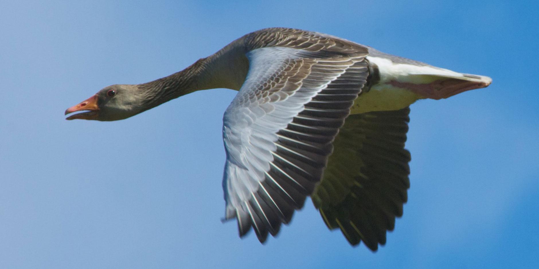 Islay is one of Scotland's top ornithological destinations Original image courtesy Benoit Plumat
