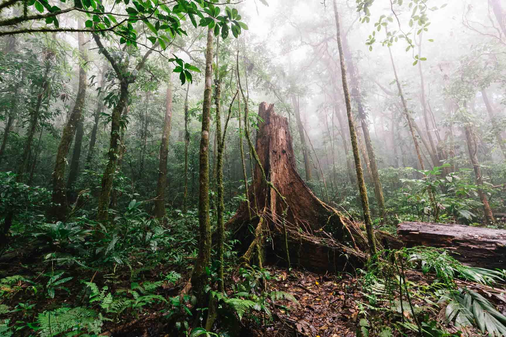 Ein alter Baumstamm im Dschungel von Costa Rica.