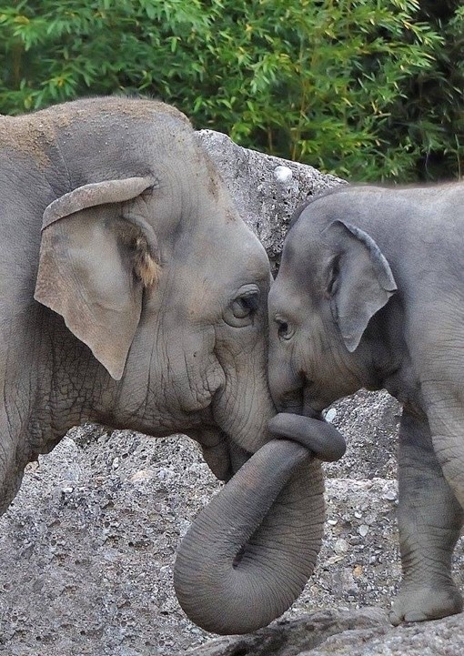 A mother elephant and her calf, touching noses