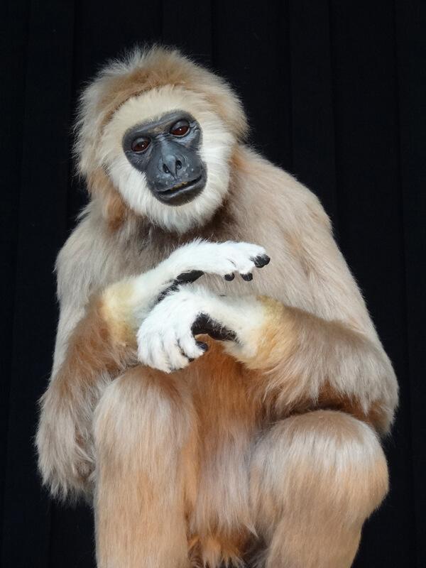 Gibbon Ape