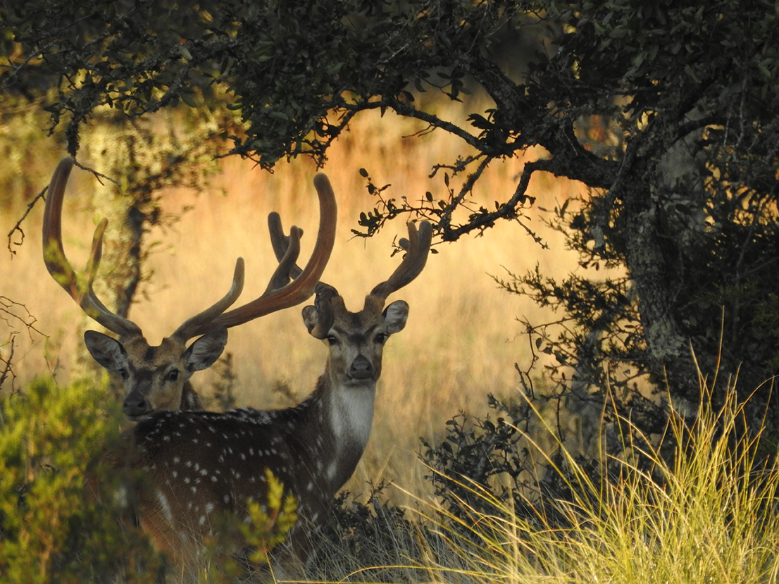 Book your Axis Deer Hunt Today!