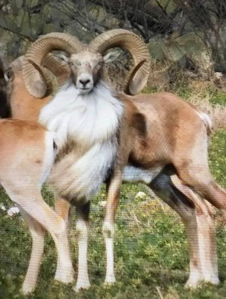 Book Your Transcaspian Urial Hunt Today