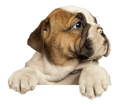 bulldog puppy-kaninesocial