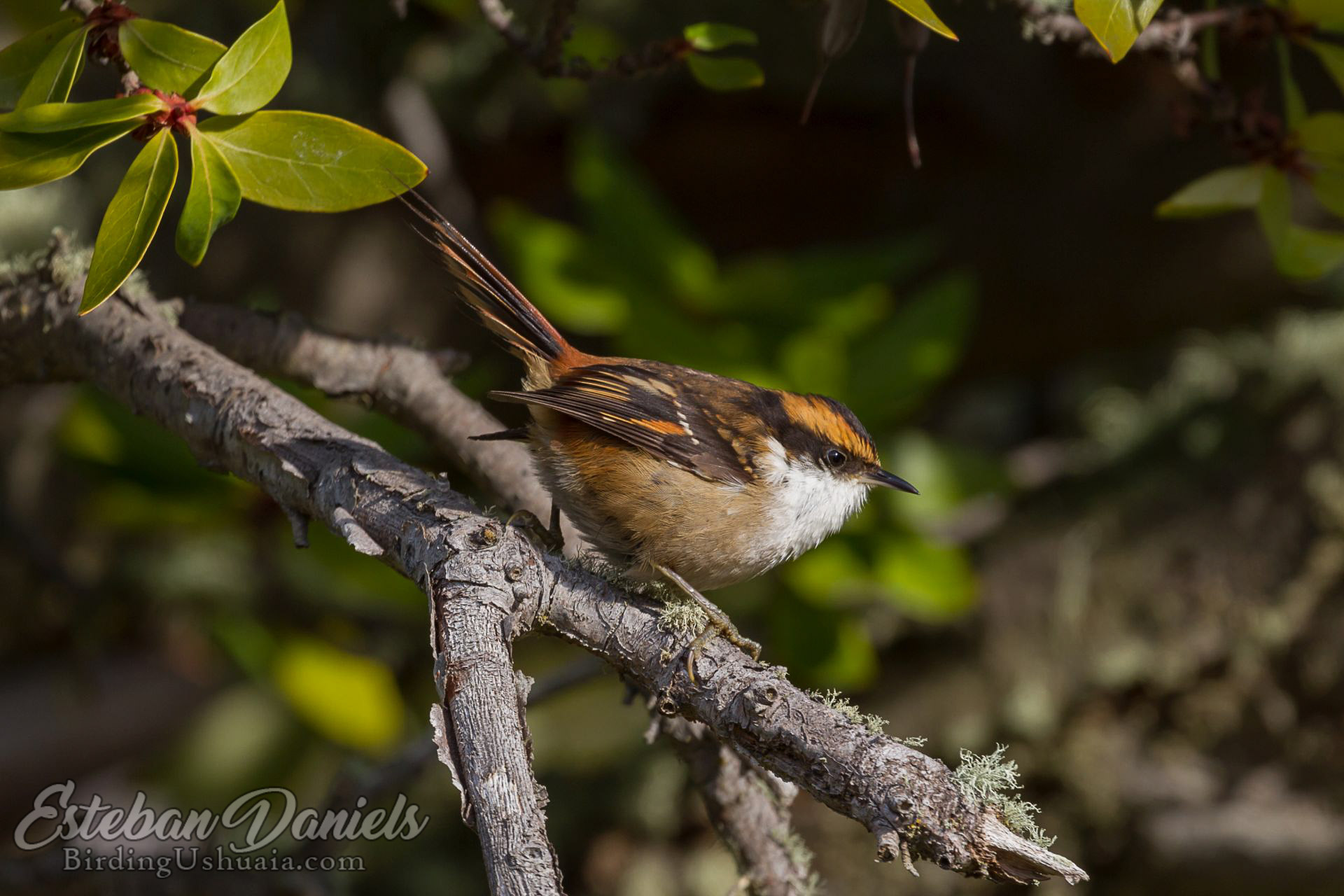 Rayadito, Thorn-tailed