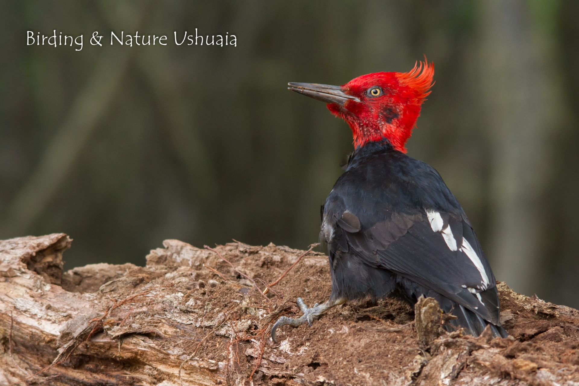 Woodpecker, Magellanic Male