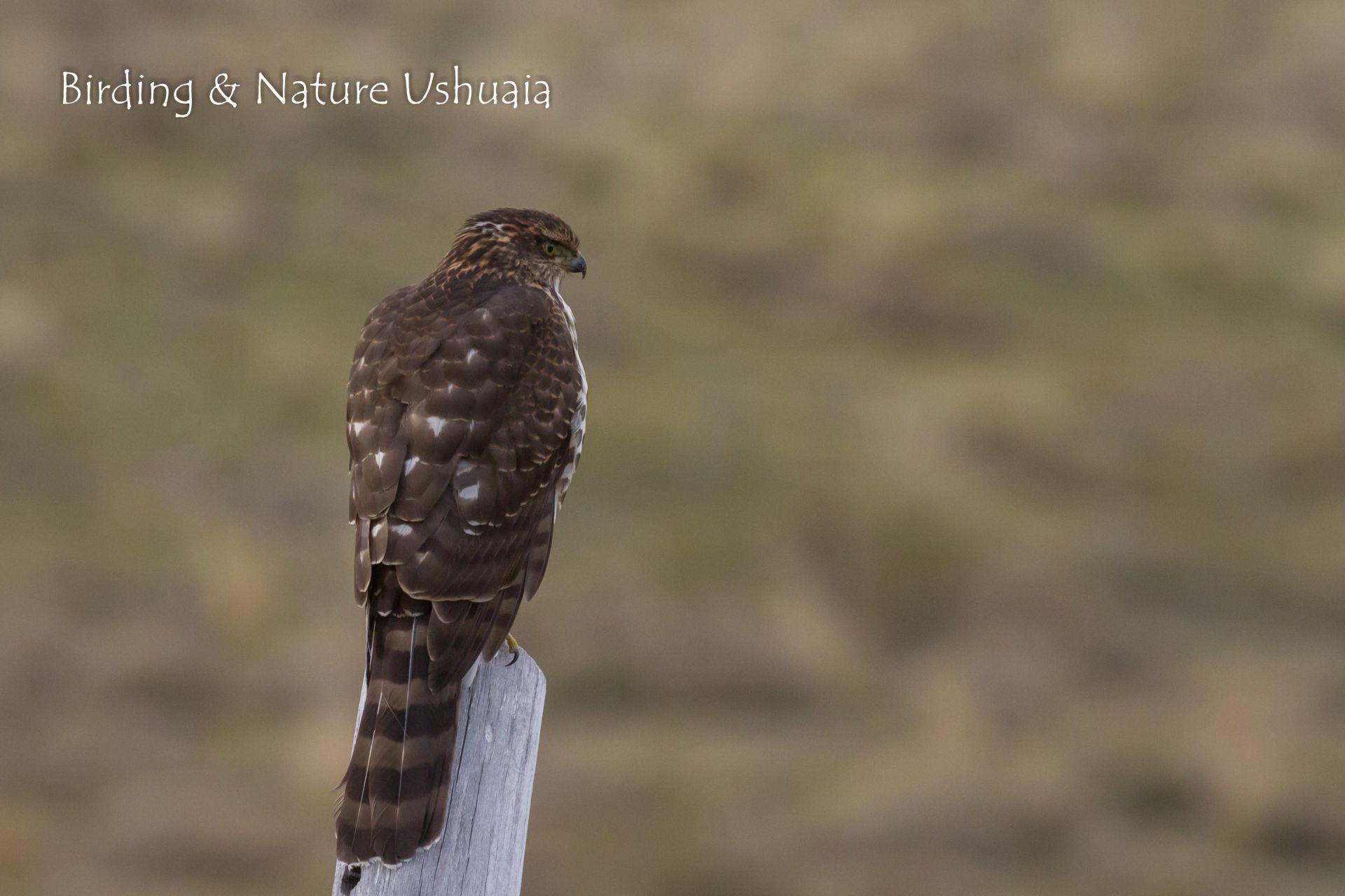 Hawk, Chilean