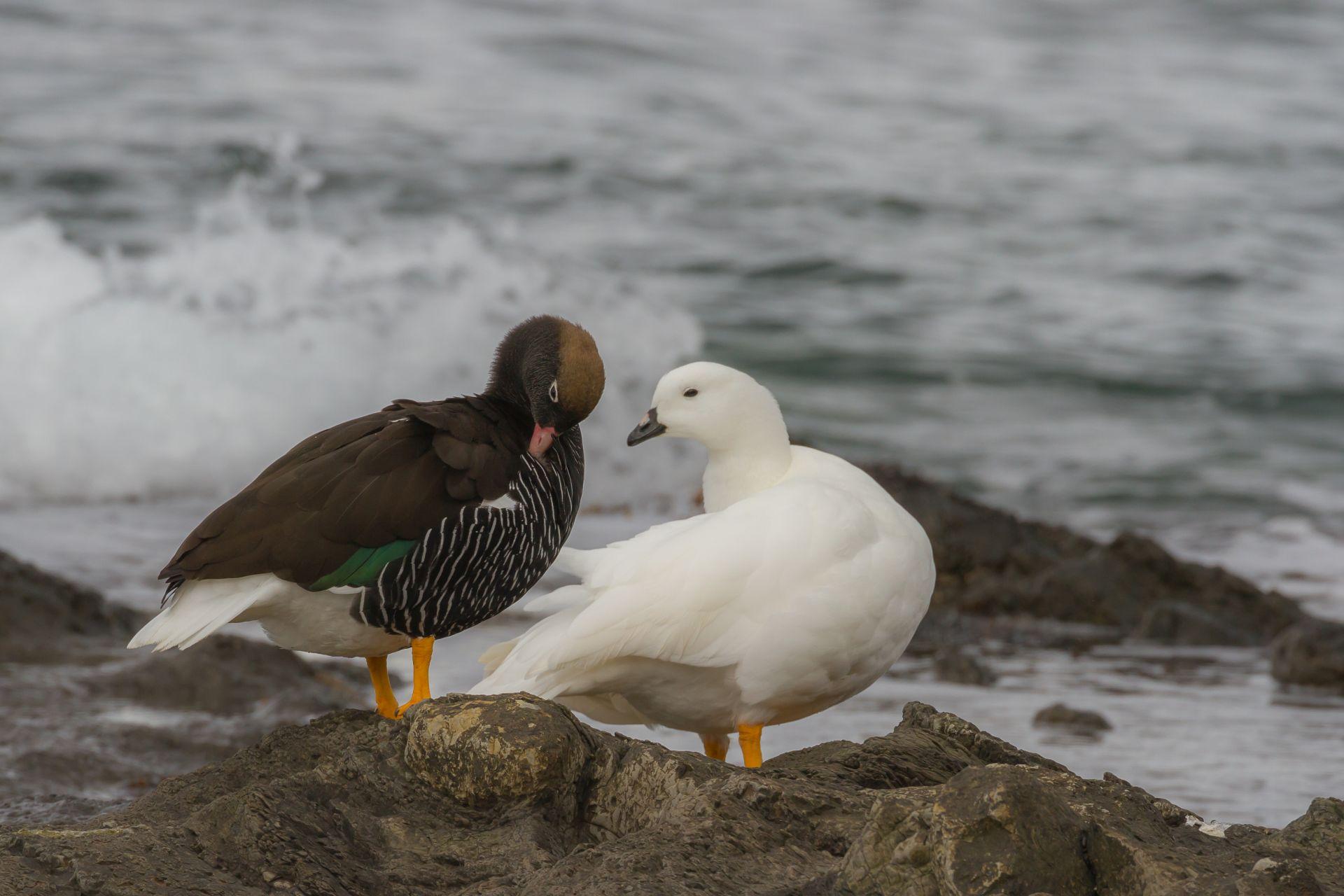 Goose, Kelp