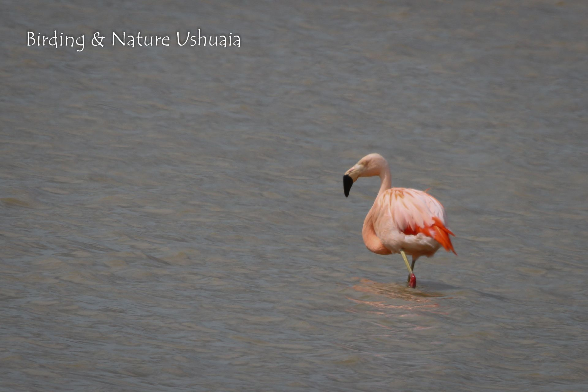 Flamingo, Chilean