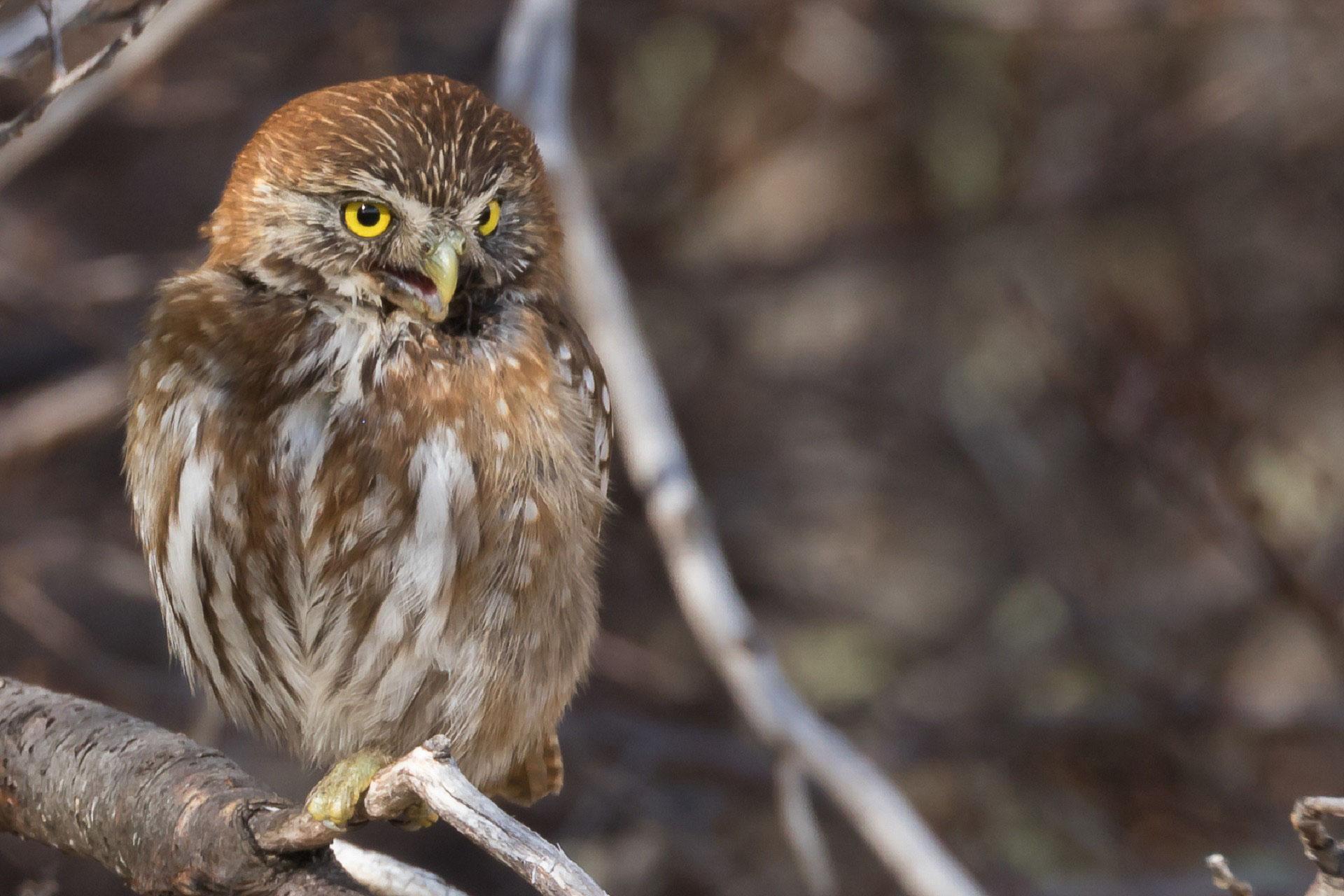 Pygmy-Owl, Austral