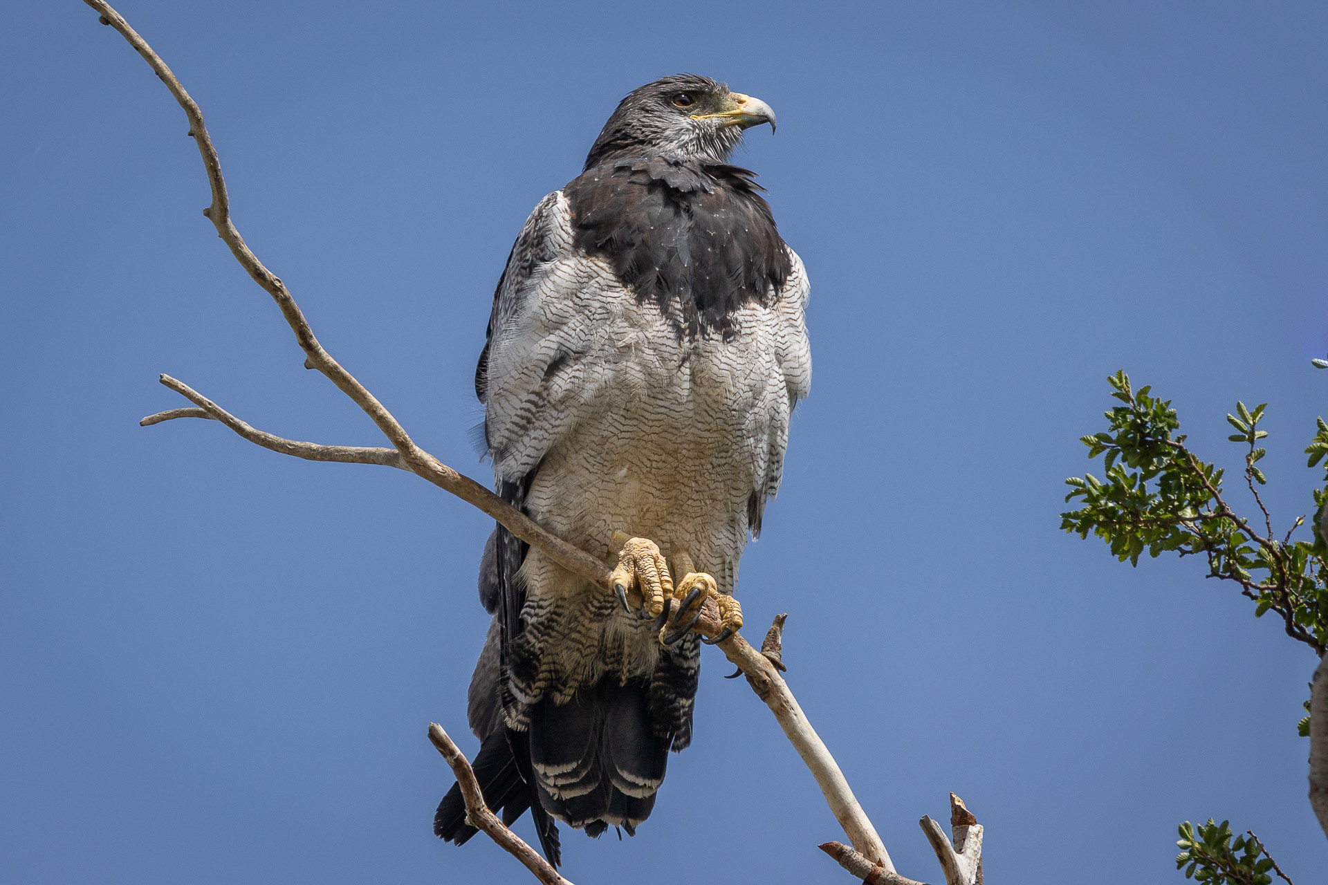 Buzzard-Eagle, Black-chested