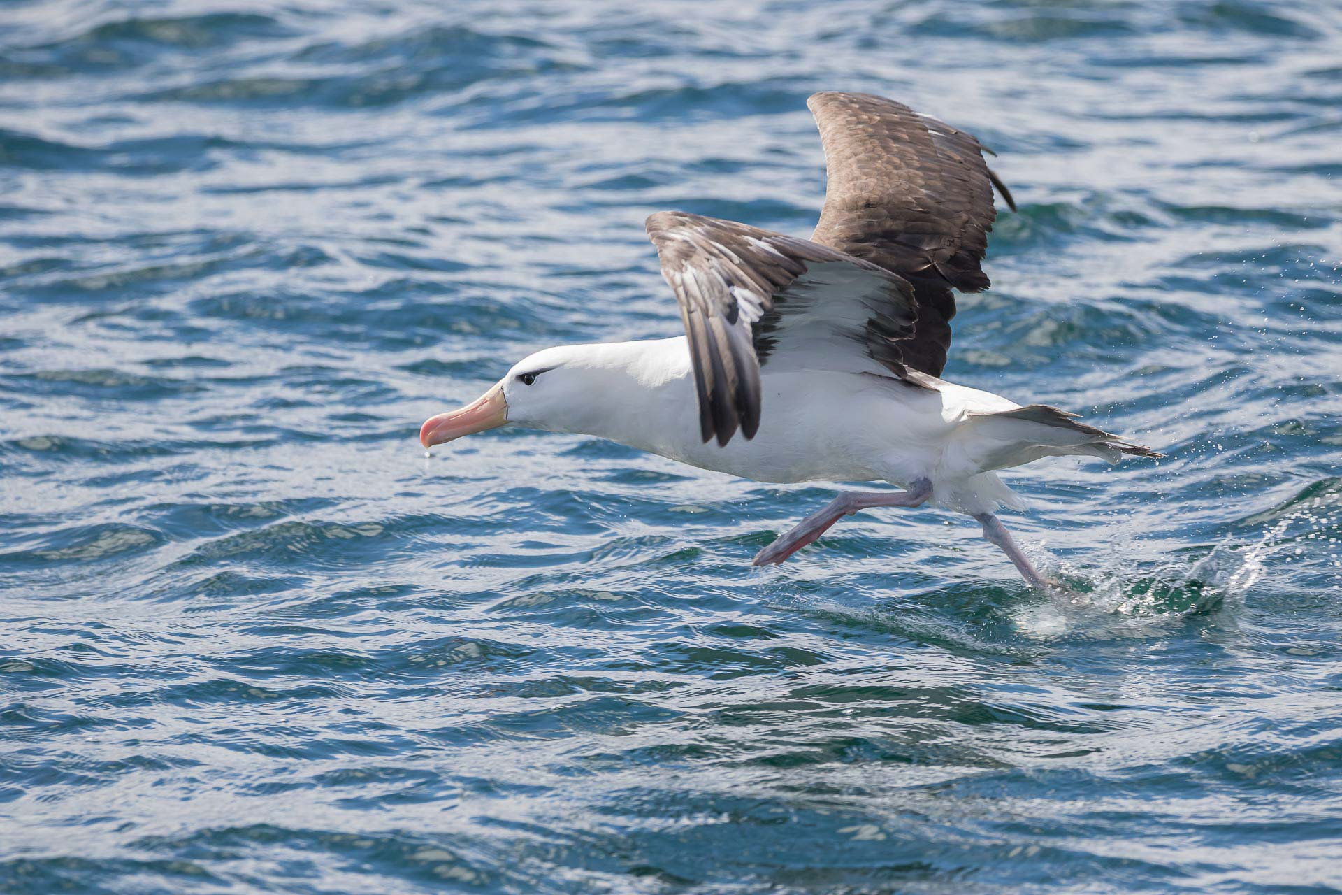Albatross, Black-browed