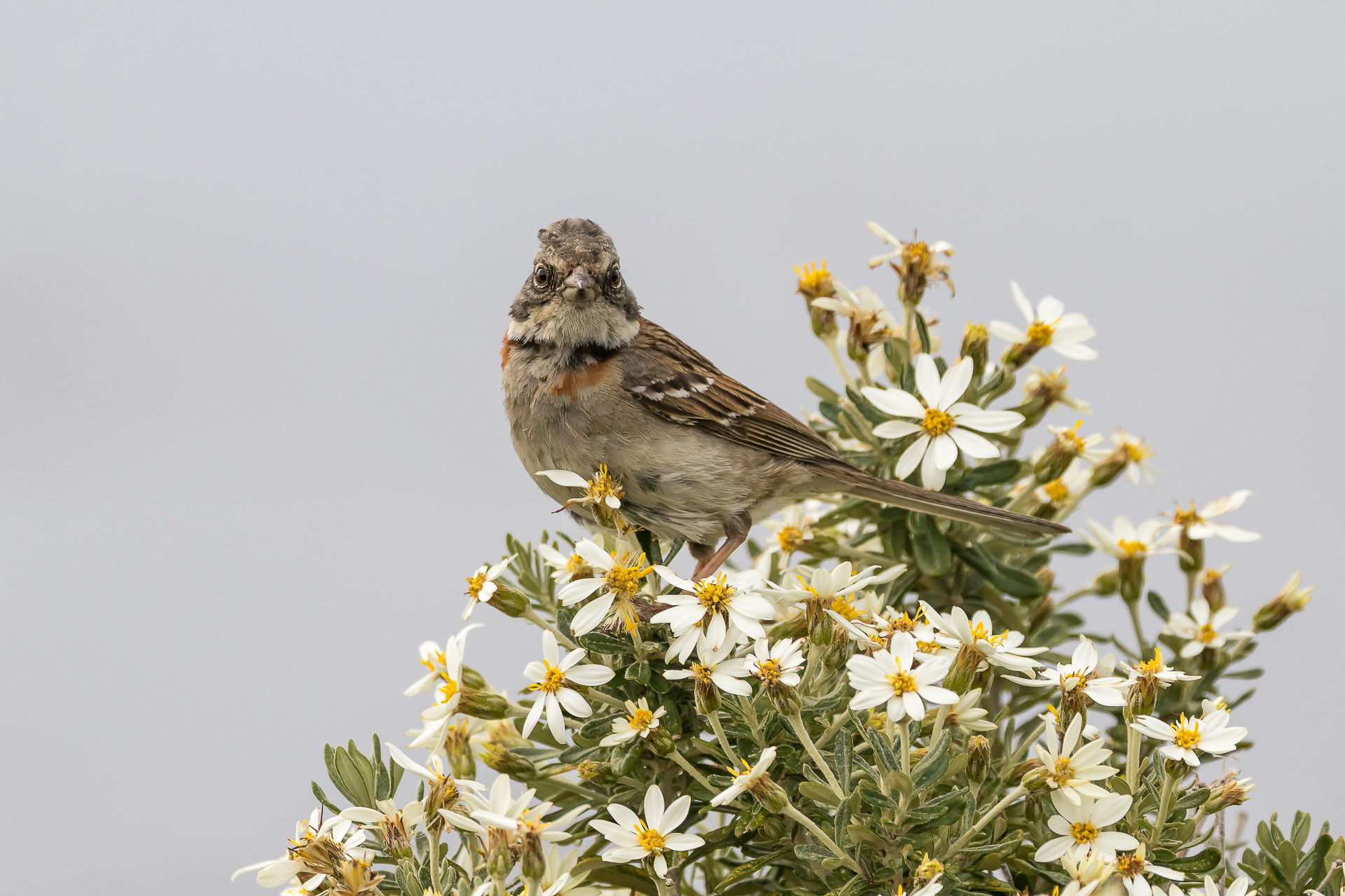 Sparrow, Rufous-collared