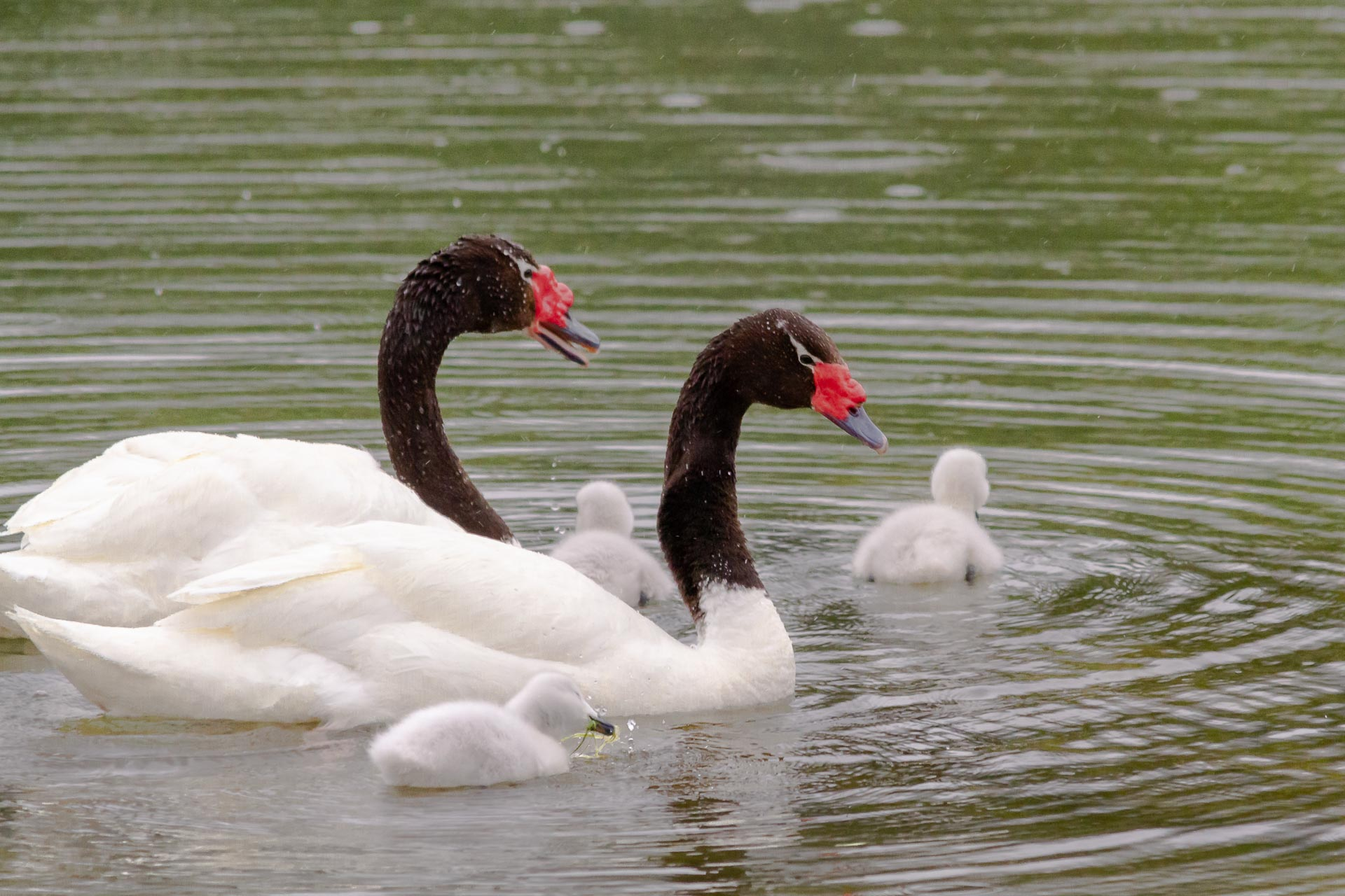 Swan, Black-necked