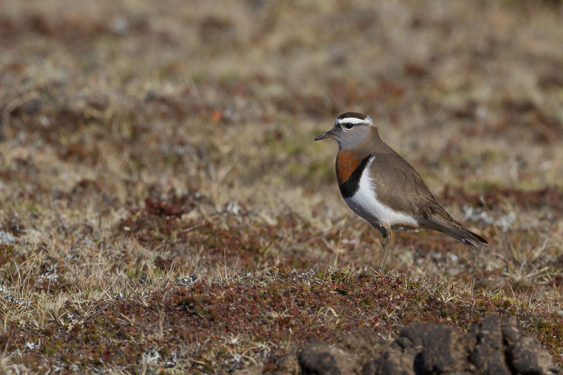 Dotterel, Rufous-chested