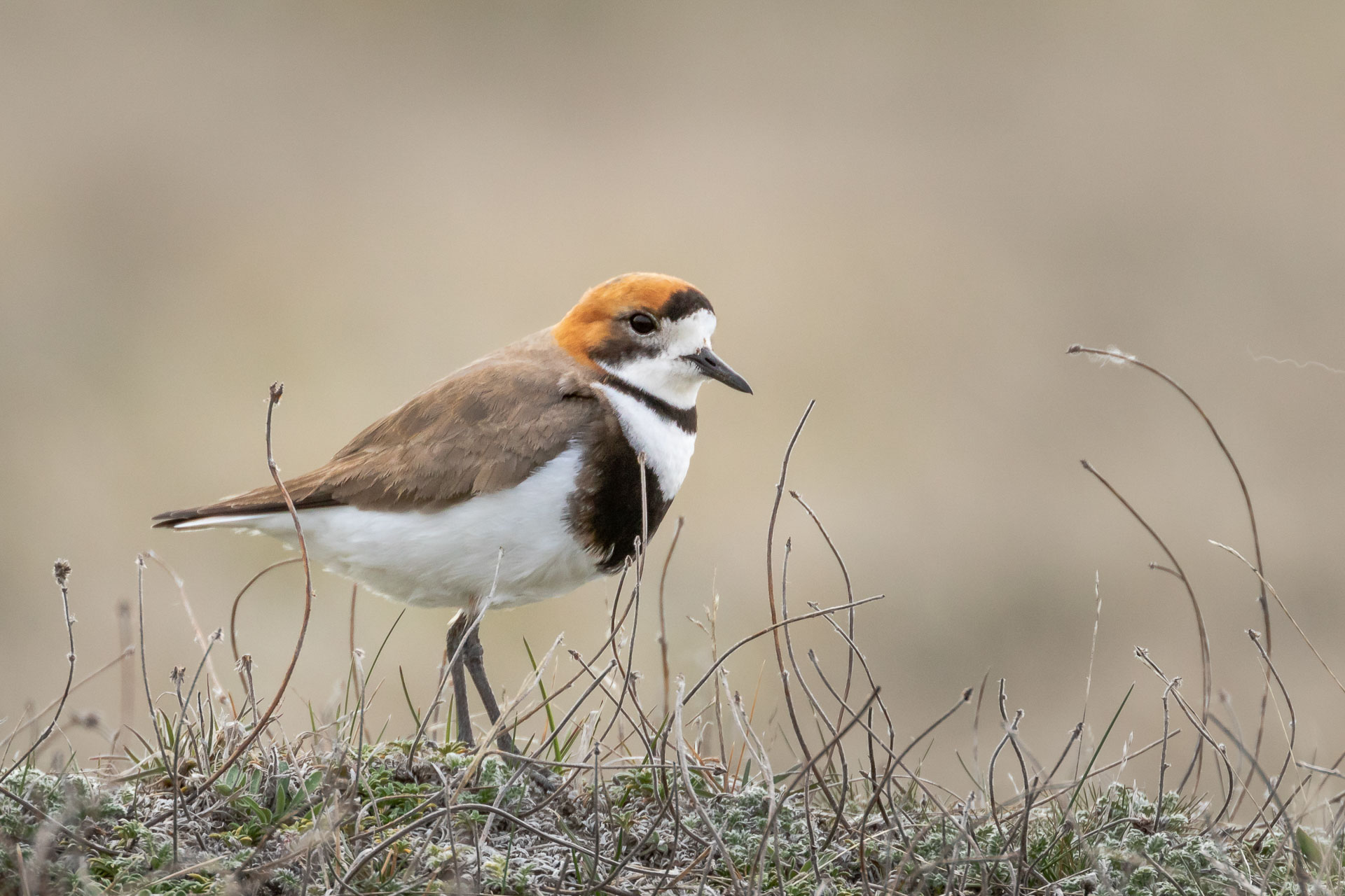 Plover, Two-banded